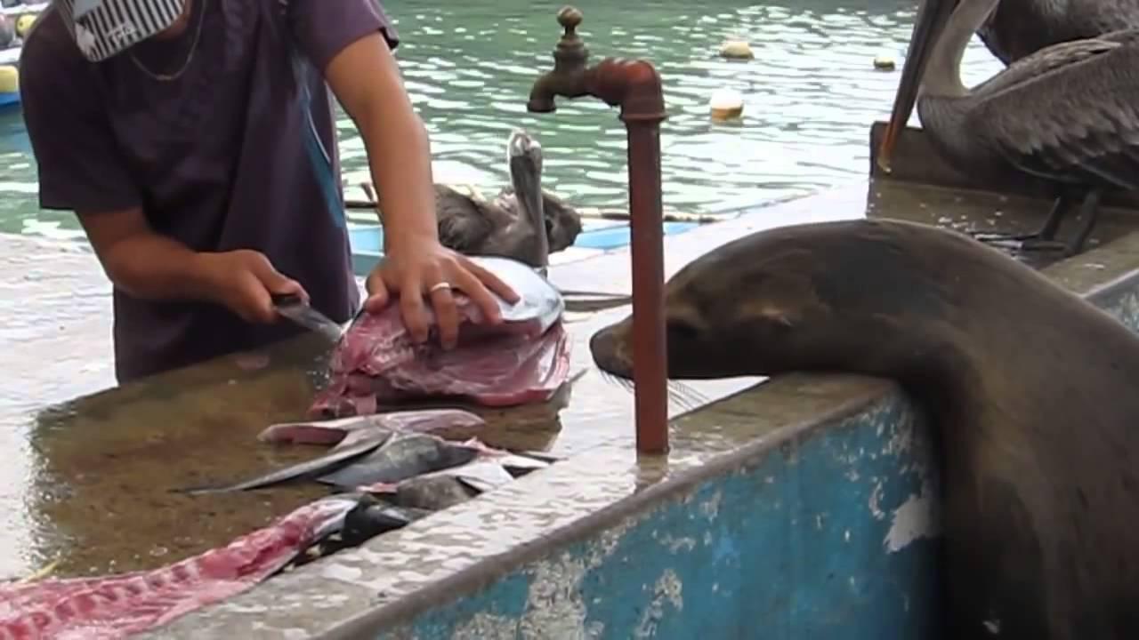 Un pélican trop gourmand manque de s'étouffer, un pêcheur lui sauve la vie !